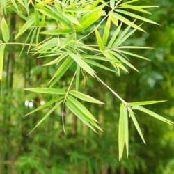 bambus_1_1.jpg